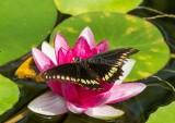 Polydamas Swallowtail _7MK3537.jpg