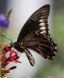 Polydamas Swallowtail _MK24312.jpg