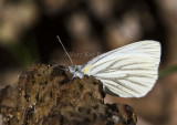 MUSTARD WHITE (Pieris napi)