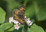 HARRIS'S CHECKERSPOT (Chlosyne harrisii)