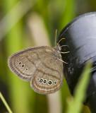 MITCHELL'S SATYR (Neonympha mitchellii)