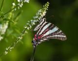Zebra Swallowtail _MG_0137.jpg