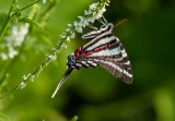 ZEBRA SWALLOWTAILS (Eurytides marcellus)