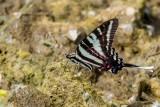 Zebra Swallowtail _MG_0665.jpg