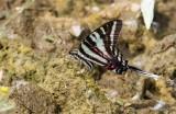 Zebra Swallowtail _MG_0667.jpg