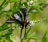 Zebra Swallowtail _MG_0129.jpg