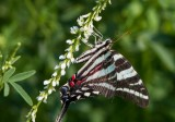 Zebra Swallowtail _MG_0151.jpg