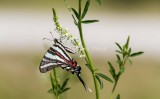 Zebra Swallowtail _MG_0171.jpg