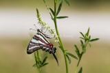 Zebra Swallowtail _MG_0173.jpg