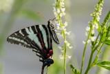 Zebra Swallowtail _MG_0204.jpg