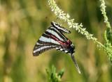 Zebra Swallowtail _MG_0288.jpg