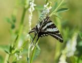 Zebra Swallowtail _MG_0337.jpg