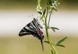 Zebra Swallowtail _MG_0367.jpg