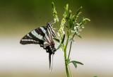 Zebra Swallowtail _MG_0374.jpg