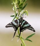 Zebra Swallowtail _MG_0382.jpg