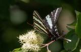 Zebra Swallowtail _MG_0456.jpg