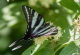 Zebra Swallowtail _MG_0462.jpg