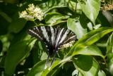 Zebra Swallowtail _MG_0476.jpg