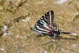 Zebra Swallowtail _MG_0685.jpg