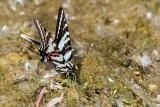 Zebra Swallowtail _MG_0692.jpg