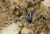 Zebra Swallowtail _MG_0695.jpg