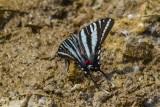 Zebra Swallowtail _MG_0737.jpg