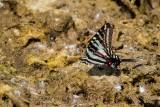 Zebra Swallowtail _MG_0741.jpg