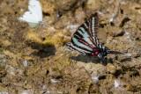 Zebra Swallowtail _MG_0745.jpg