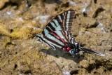Zebra Swallowtail _MG_0751.jpg