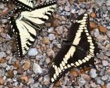 Giant + Eastern Tiger Swallowtail _MG_2315.jpg