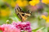 Giant Swallowtail _H9G6799.jpg