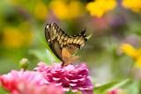 Giant Swallowtail _H9G6803.jpg