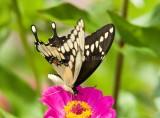 Giant Swallowtail _H9G7082.jpg