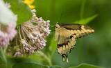 Giant Swallowtail _I9I1847.jpg
