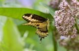 Giant Swallowtail _I9I1871.jpg