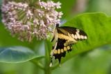 Giant Swallowtail _I9I1889.jpg