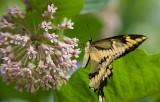 Giant Swallowtail _I9I1893.jpg