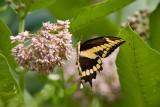 Giant Swallowtail _I9I1897.jpg