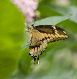 Giant Swallowtail _I9I1899.jpg