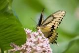 Giant Swallowtail _I9I1901.jpg