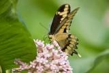 Giant Swallowtail _I9I1902.jpg