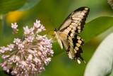 Giant Swallowtail _I9I1910.jpg
