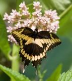 Giant Swallowtail _I9I1916.jpg
