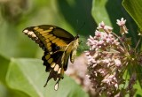 Giant Swallowtail _I9I1941.jpg