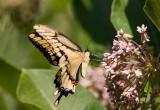 Giant Swallowtail _I9I1943.jpg