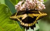 Giant Swallowtail _I9I2022.jpg