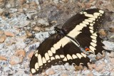 Giant Swallowtail _MG_2083.jpg
