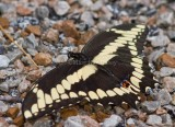 Giant Swallowtail _MG_2277.jpg