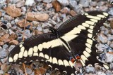 Giant Swallowtail _MG_2301.jpg