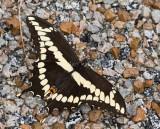 Giant Swallowtail _MG_2321.jpg